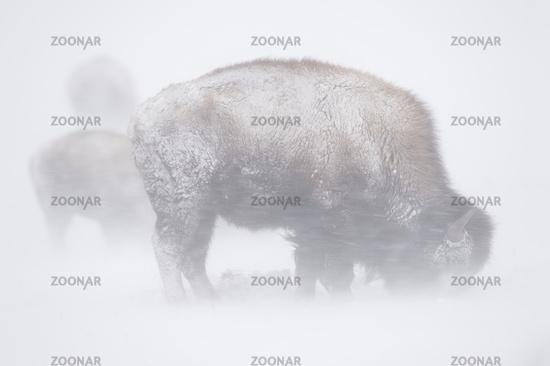 in a Blizzard... American Bison *Bison bison*