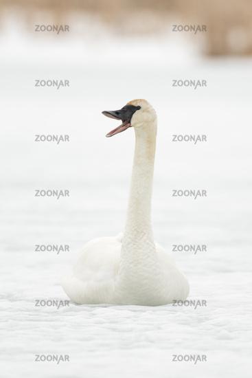 trumpeting... Trumpeter Swan *Cygnus buccinator*