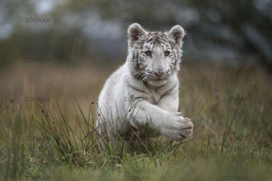 jumping... Royal Bengal Tiger *Panthera tigris tigris*