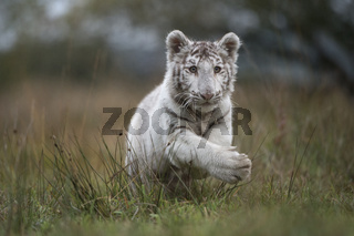 der Sprung... Königstiger *Panthera tigris tigris*