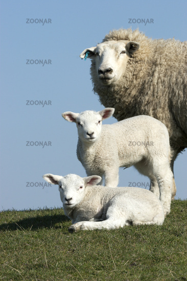 Domestic sheep (Ovis aries)