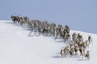 herd of reindeer running around the mountain winter sunny day