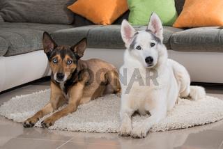 Zwei Hunde im Wohzimmer