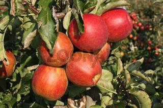 Reife Äpfel in einer Obstplantage im Alten Land bei Hamburg