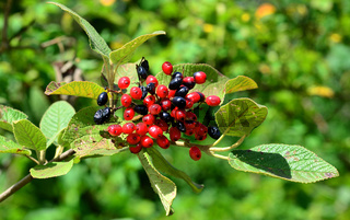 Wolliger Schneeball, Viburnum lantana, Fruchtstand
