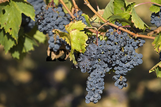 Weintrauben am Rebstock, Toskana, Grapes at vine stock, Tuscany