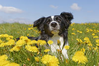 Border collie, lie in a meadow with dandelions, Germany, Europe