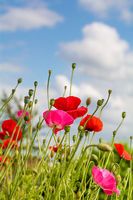 Poppy flowers protrude into the blue sky