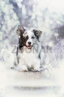 Border Collie im Winter