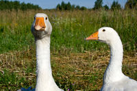 Poultry the goose