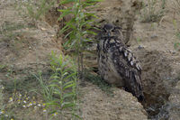 well camouflaged... Eurasian Eagle Owl *Bubo bubo* sits next to a rain drainage channel in a slopee