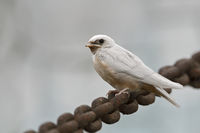 fledged... white Barn Swallow *Hirundo rustica*