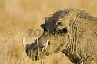 Warzenschwein (Phacochoerus africanus) Pilanesberg National Park, Suedafrika, Afrika, Warthog, African Lens-Pig, Pilanesberg Game Reserve, South Africa