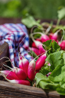 Bunch of fresh radishes in a wooden box outdoors on the table