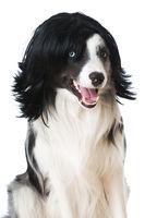 Hund mit Perücke