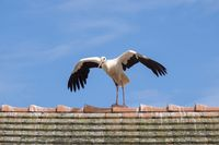 White stork on a house roof
