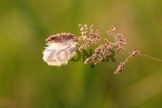 Wiesen-Rispengras