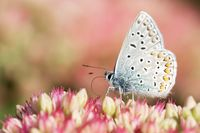 common blue on stonecrops