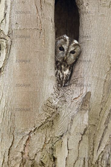who's watching there... Tawny Owl *Strix aluco*