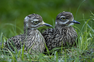 Kaptriel, Paar, Burhinus capensis, Spotted Thick-knee, couple