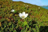 Flowering cloudberry