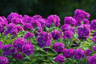 Phlox lila, Phlox paniculata, Flammenblume