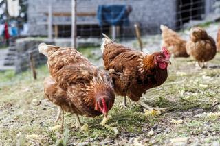 Zwei Hühner scharren in ihrem gehege, Haushuhn, Gallus gallus domesticus, Freilandhaltung