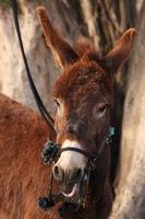 Donkey with snaffle Bit