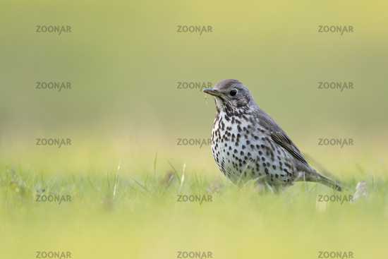 from a low point of view... Song Thrush *Turdus philomelos*