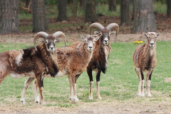 Wild sheep, small group