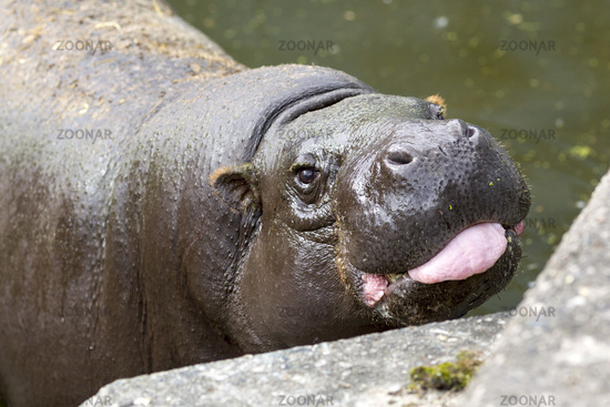 Pygmy hippopotamus tongue