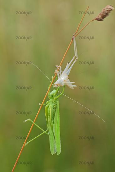 Great green bush cricket (Tettigonia viridissima)