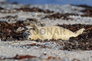 Grey Seal (Halichoerus grypus) Pup Helgoland Germany