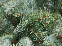 Blue fir needles as a texture