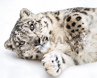 Playful Snow Leopard V