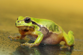 full length green tree frog walking on wet glass ( Hyla arborea )