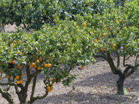 Orange trees in the spring