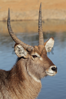 Waterbuck portrait