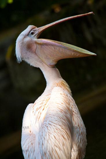Great White Pelican, Eastern White Pelican, White