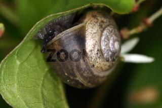 Genabelte Strauchschnecke, Fruticicola fruticum, bush snail