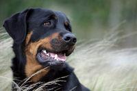 close-up of the head of a rottweiler dog