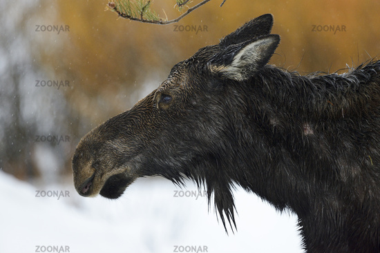 Headshot of a female... Moose *Alces alces*