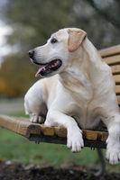 smiling blond Labrador retriever