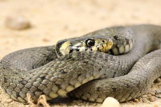 detail of grass snake ( Natrix )