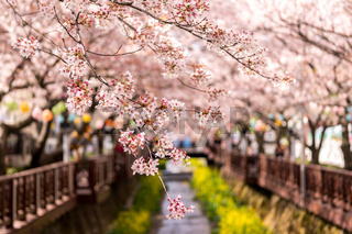 cherry blossoms in jinhae