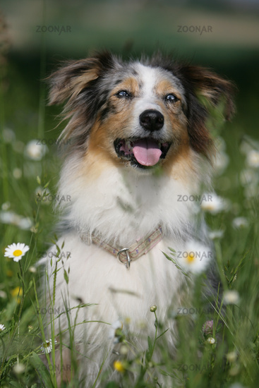 Australian shepherd dog sitting