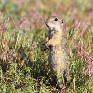 alarmed european ground squirrel ( Spermophilus citellus )