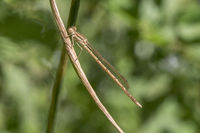 Common winter damselfly, Sympecma fusca