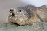 Murmeltier (Marmota marmota), Franz-Josefs-Hšhe, Nationalpark Hohe Tauern, KŠrnten, …sterreich, Europa