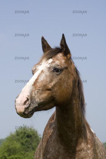 Appaloosa Horse, Mare, Germany
